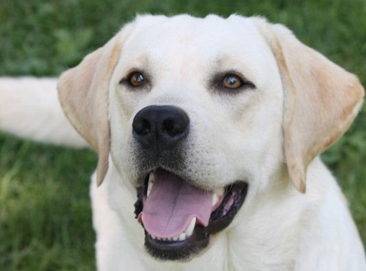Home page | On the Bluff Labradors